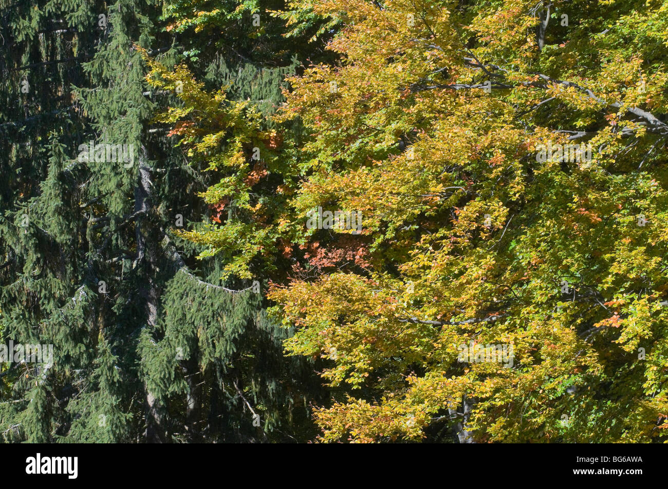 Germany, Bayerischerwald, conifers and beeches in autumn - Stock Image