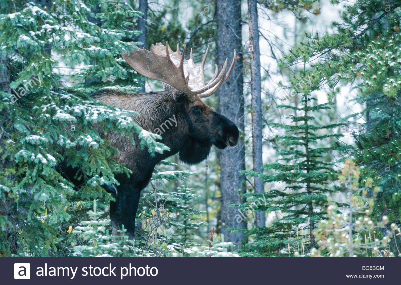 Canada. Alberta. Bull Moose (Alces alces) with big rack of antlers walking through forest. Side view. - Stock Image