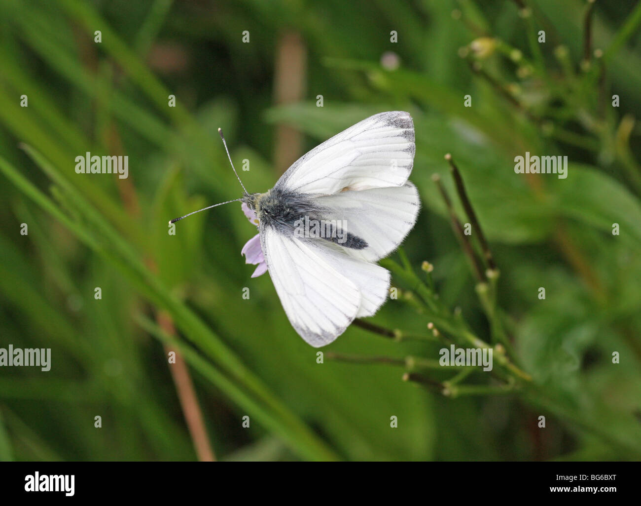 A Green Veined White (Pieris napi) butterfly - Stock Image