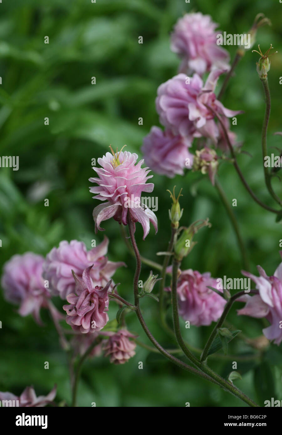 Close Up Of A Red Pink Clover Flower Trifolium Pratense Stock Photo