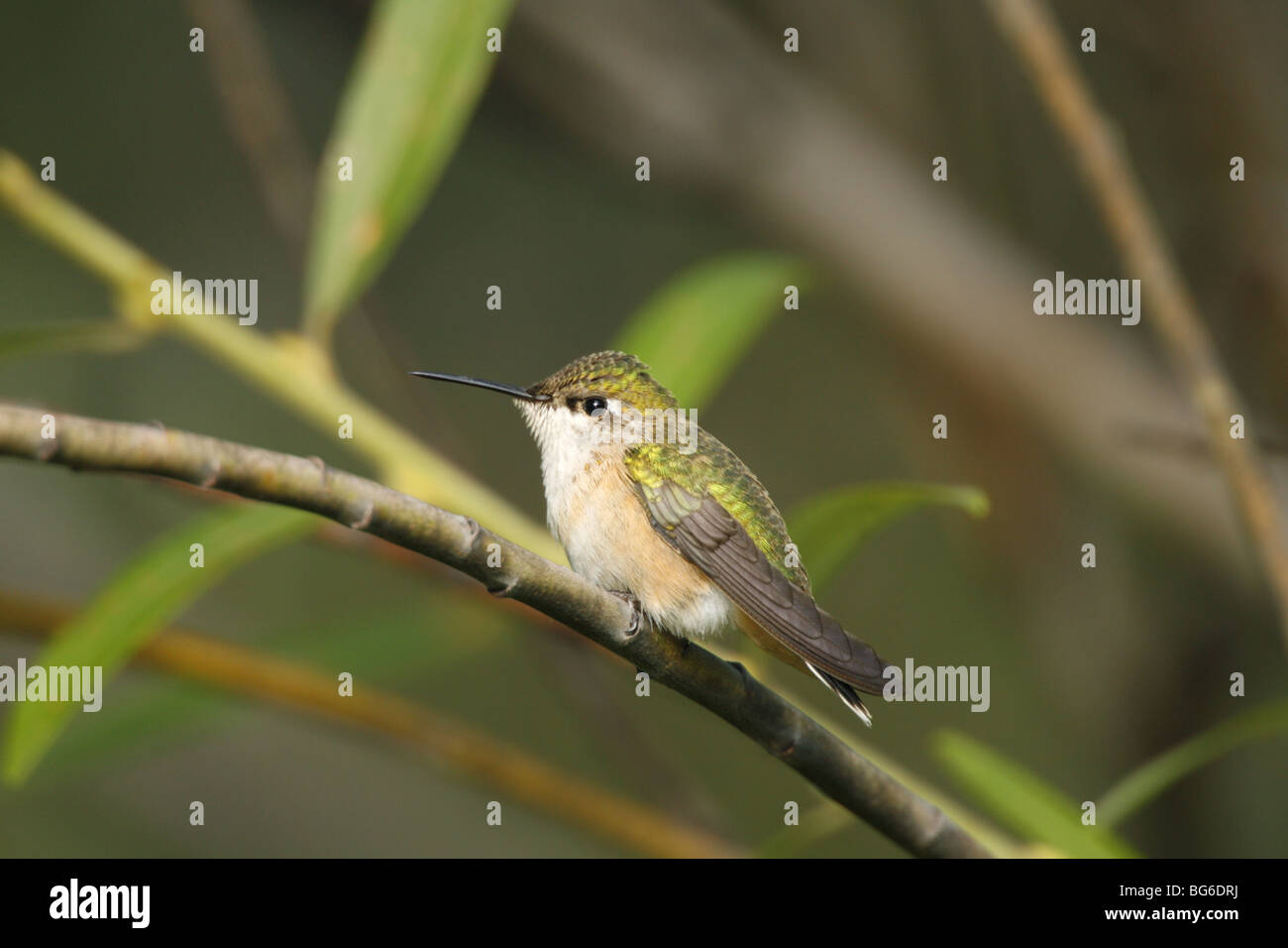 The smallest hummingbird in North America, a female Calliope Hummingbird perches on a branch near a hummingbird - Stock Image