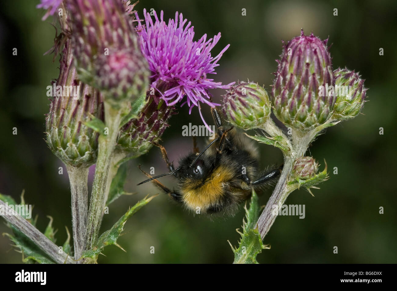 Italy, Piedmont, Oulx (To), a wild bee among the flowers, Bombus lucorum, Cirsium - Stock Image