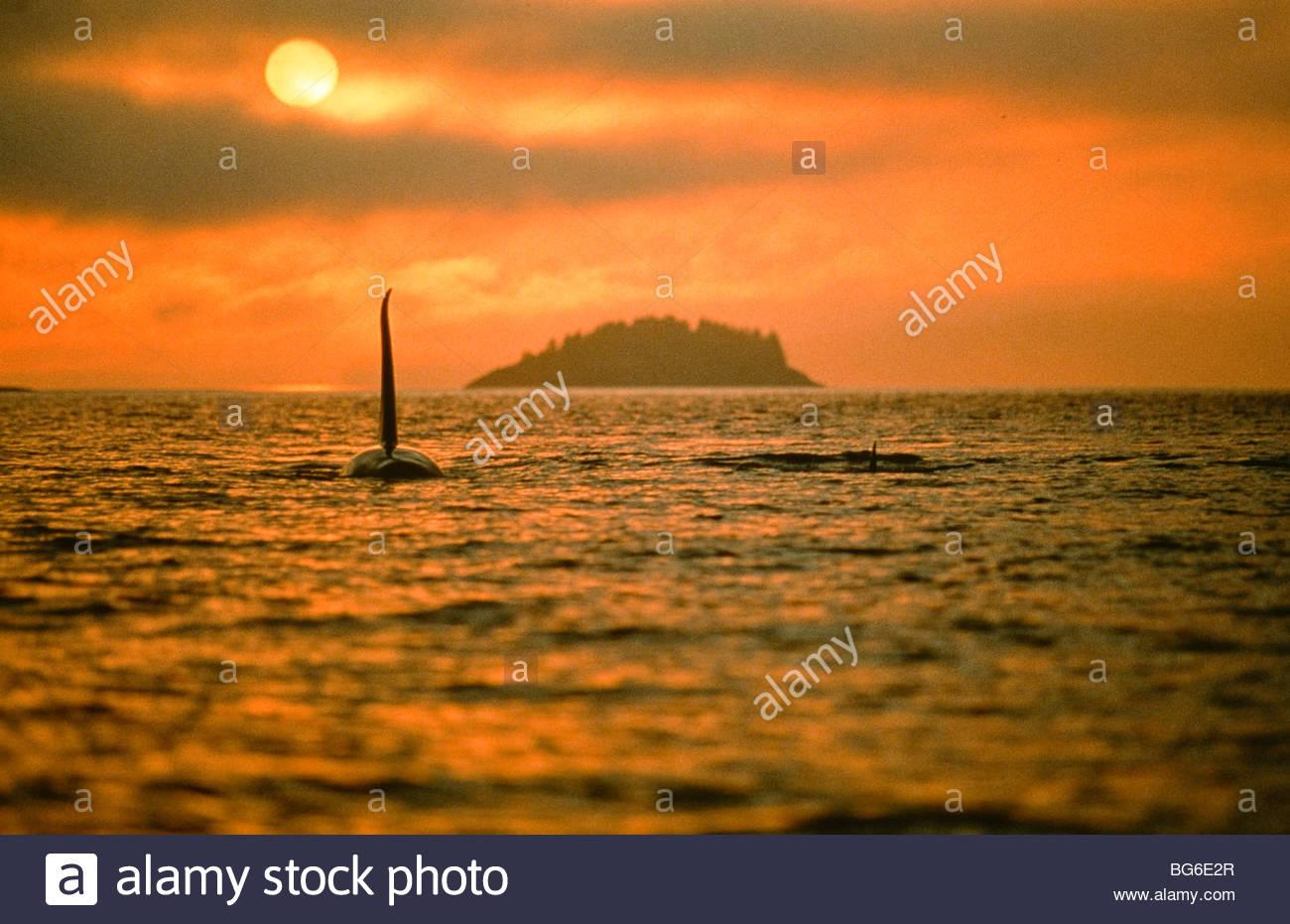 Alaska. Orca / Killer Whale (Orcinus orca) swims into sun. - Stock Image