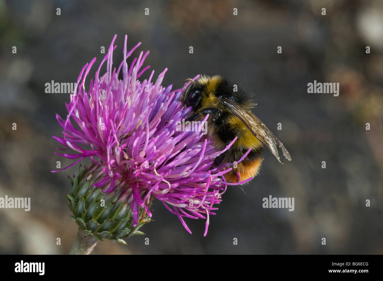 Italy, Piedmont, Oulx (To), a wild bee on a flower - Stock Image