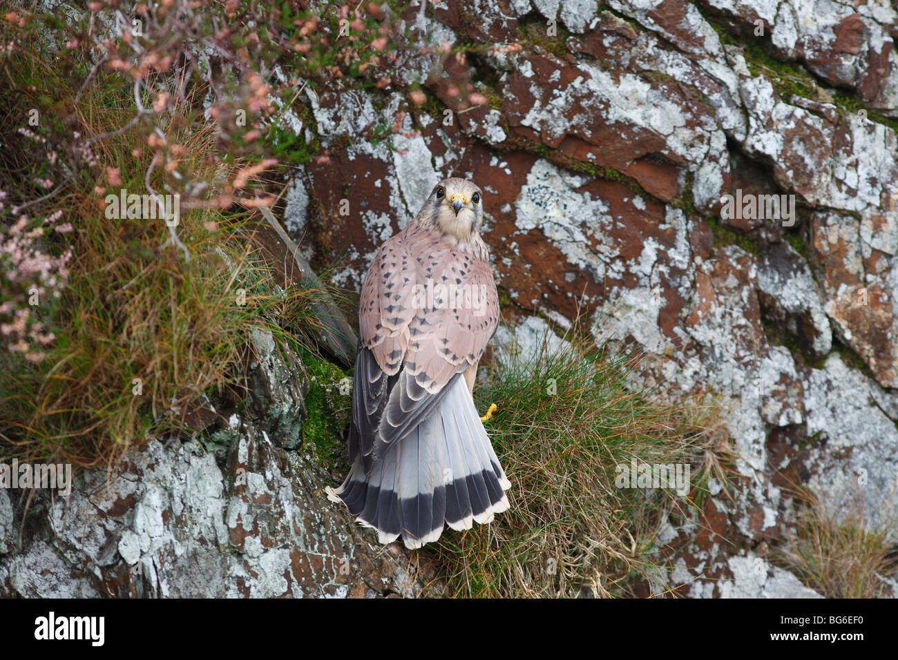 kestrel (Falco tinnunculus) male at nest on cliff ledge - Stock Image