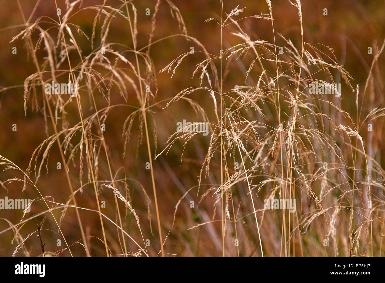 Dry grass - Stock Image