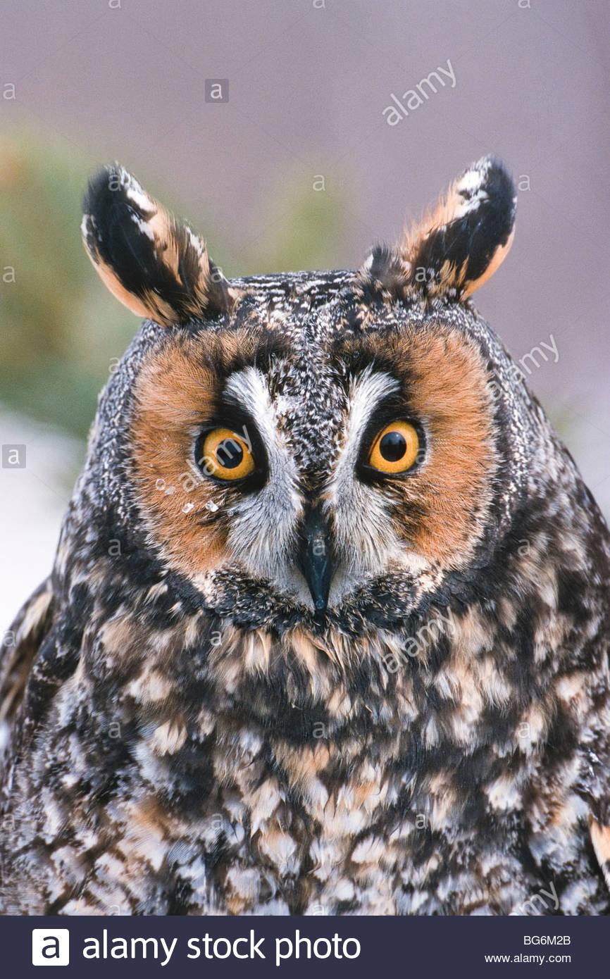 Minnesota. Long-eared owl (Asio otus). - Stock Image