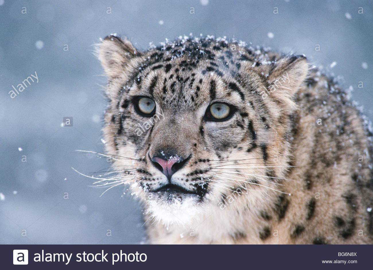 Himalayas. Hindu Kush. Altai. Snow leopard (Panthera uncia), an endangered species. Captive. - Stock Image
