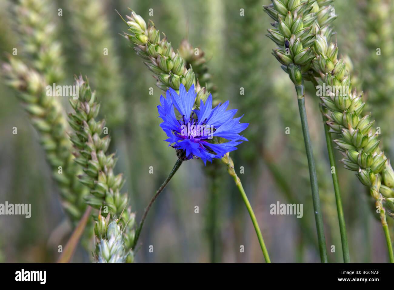 Cornflower (Centaurea cyanus) in flower in wheat field - Stock Image