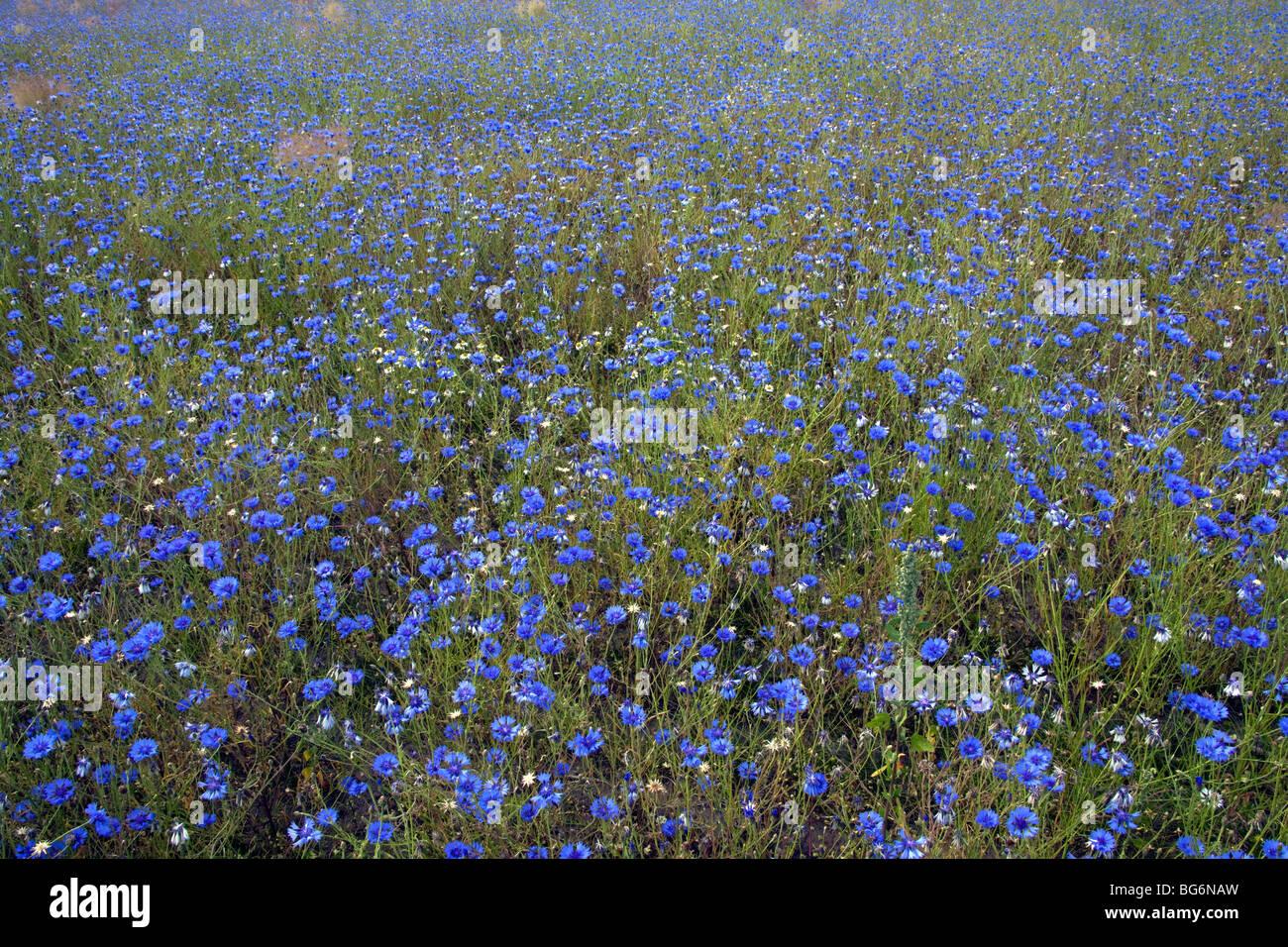 Cornflowers (Centaurea cyanus) in flower in field Stock Photo