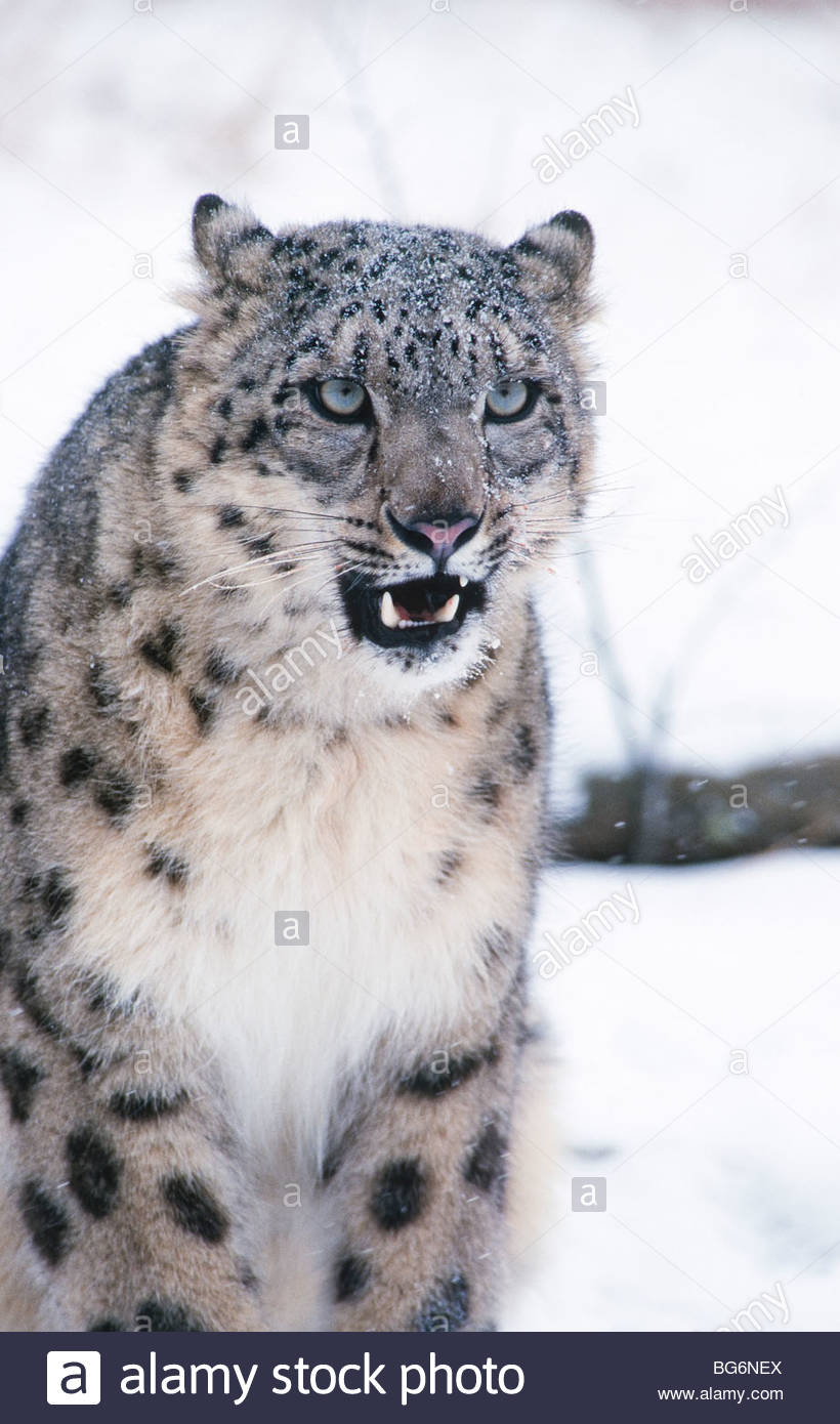 Snow Leopard (Panthera uncia) endangered species. - Stock Image