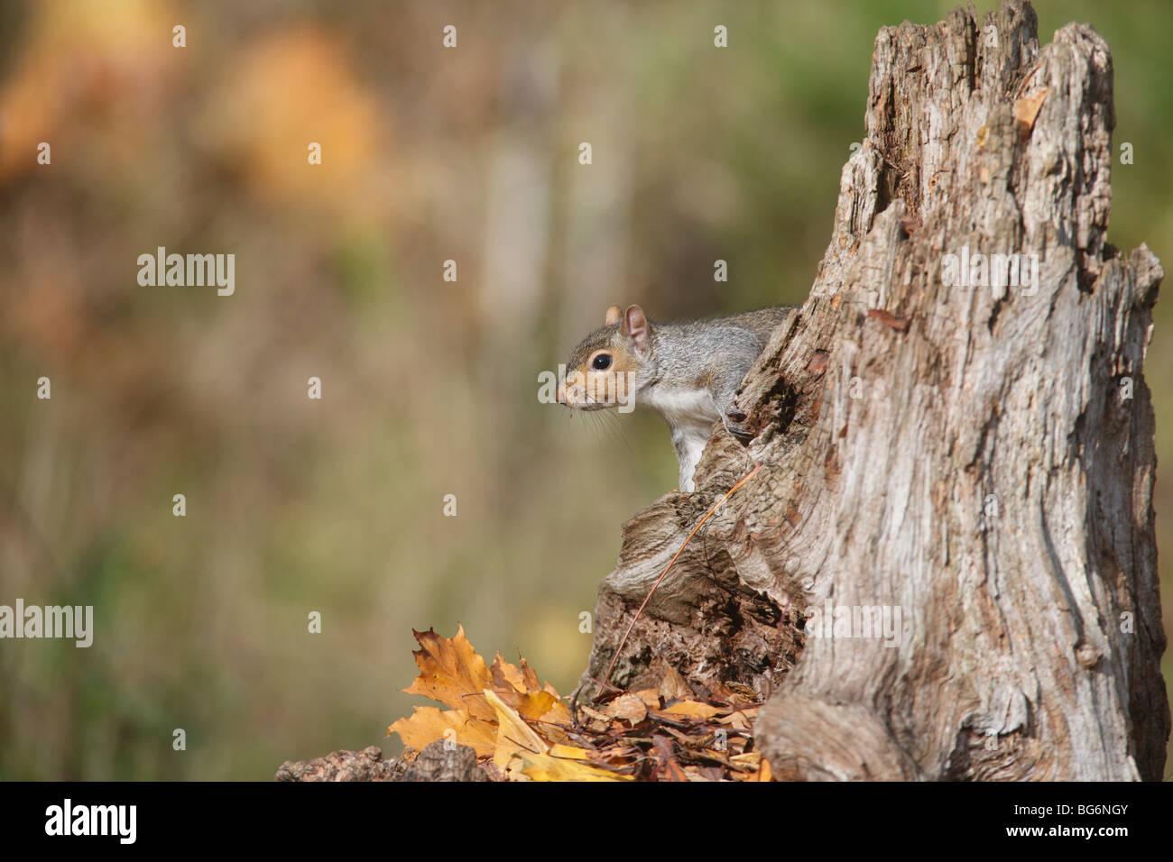 Grey squirrel (Scirius carolinensis) on stump in autumn leaves - Stock Image