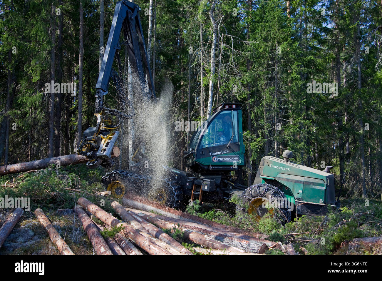 Logging industry showing timber / trees felled by forestry machinery / Timberjack harvester in pine forest - Stock Image