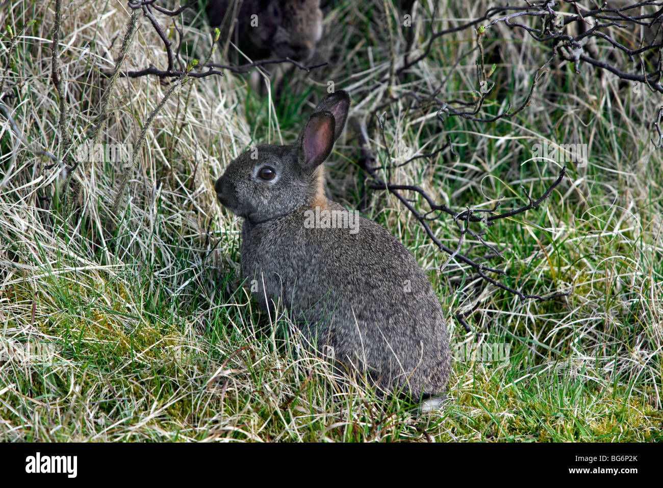 Rabbit (Oryctolagus cuniculus) in shrubs / thicket - Stock Image