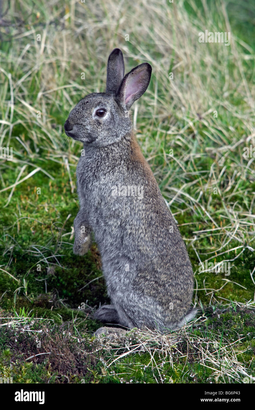 European common rabbit (Oryctolagus cuniculus) sitting upright in meadow - Stock Image