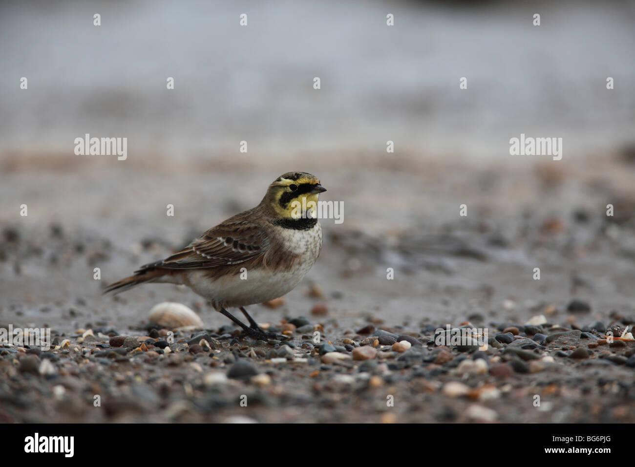 shorelark (Eremophila alpestris) standing on shingle beach - Stock Image