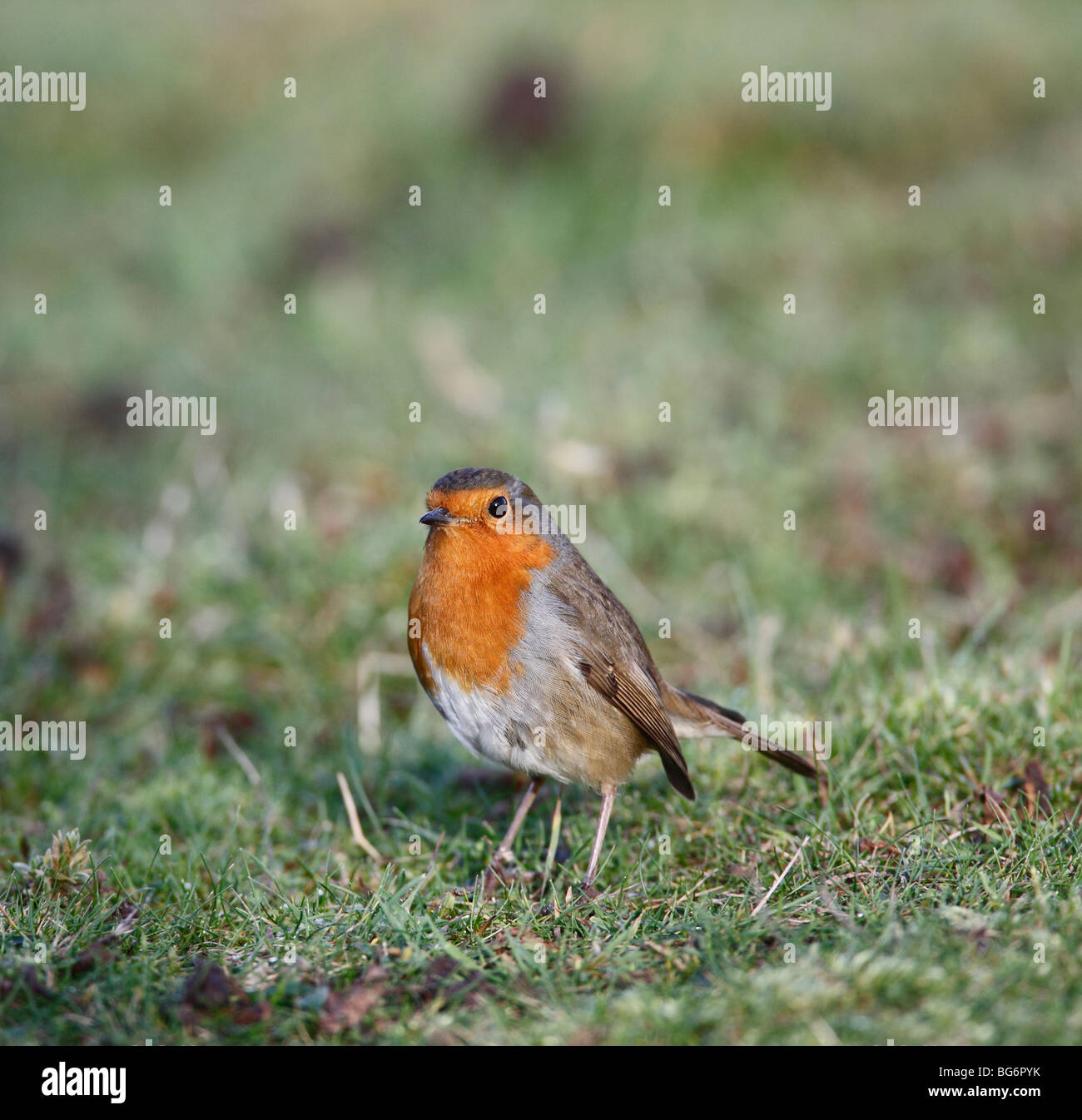 robin (erithacus rubecula) perching on lawn front view - Stock Image