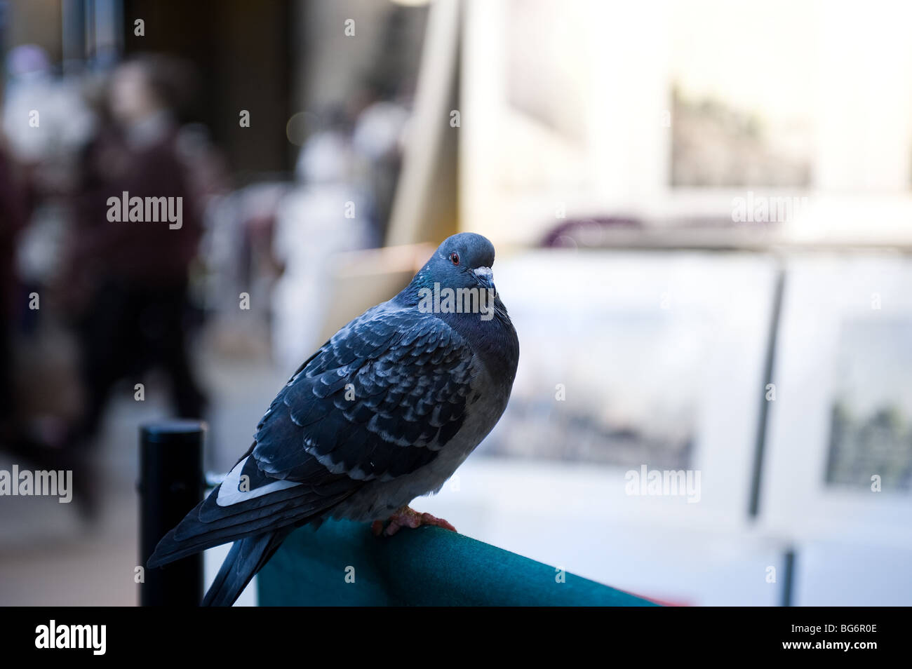 A feral pigeon perched on a handrail in London.  Photo by Gordon Scammell - Stock Image