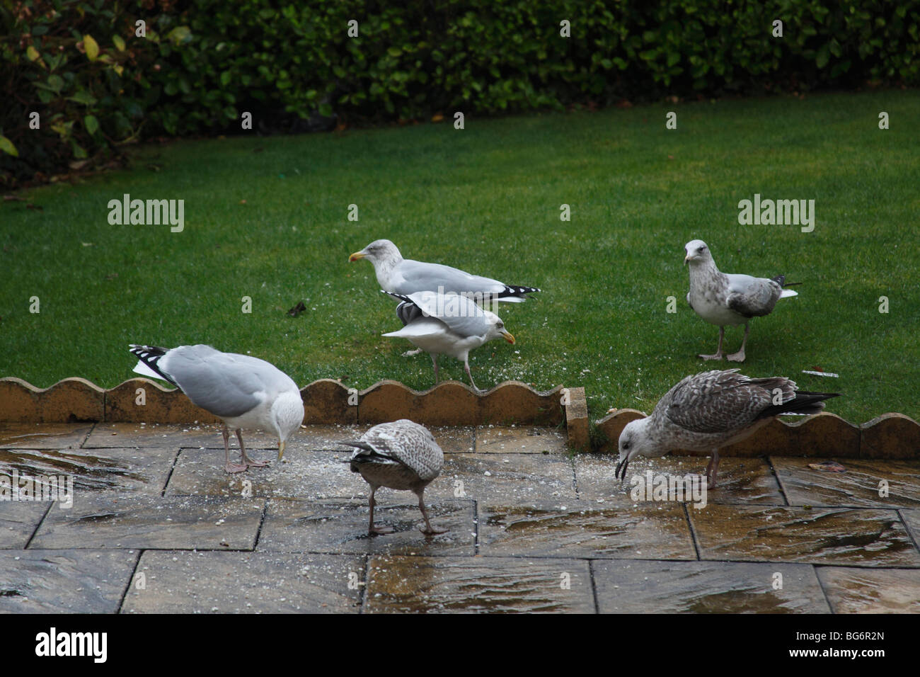Herring gull (Larus argentatus) flock feeding on lawn - Stock Image
