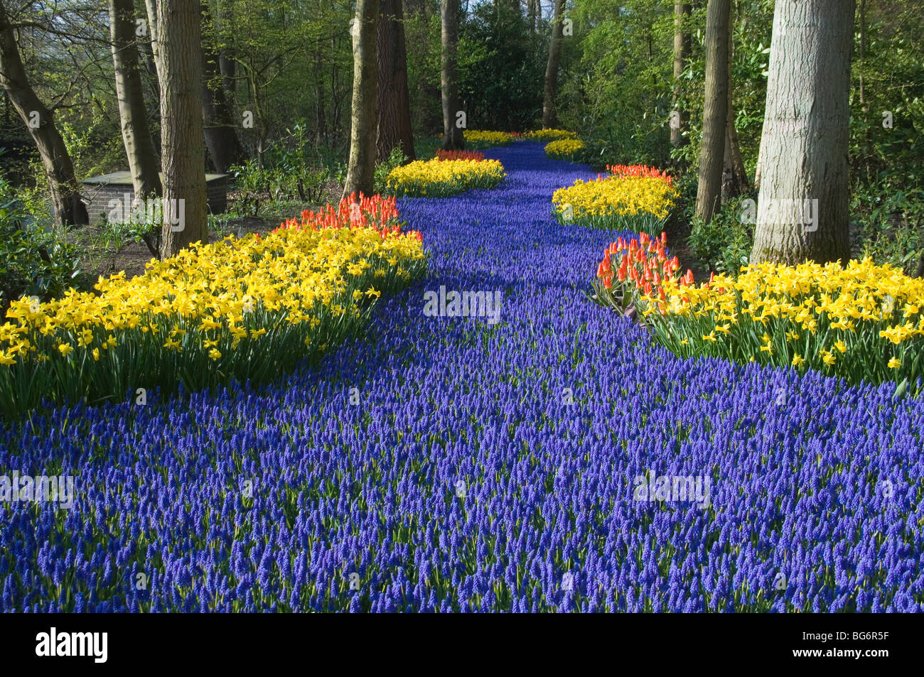 A RIVER OF MUSCARIA FLOWERS AND NARCISSUS, KEUKENHOF PARK GARDENS, LISSE, HOLLAND. - Stock Image