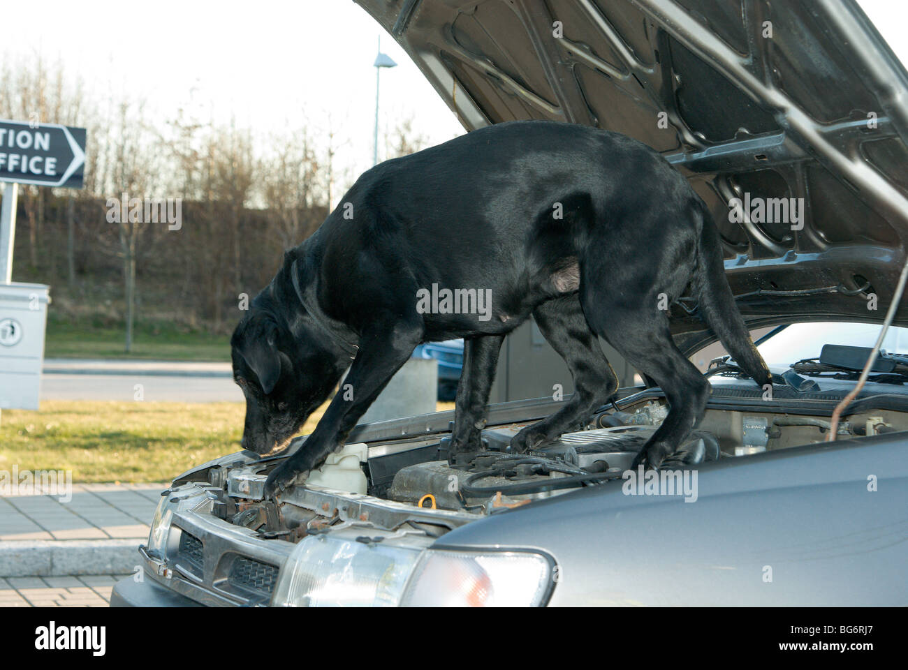 labrador looking for drugs - Stock Image