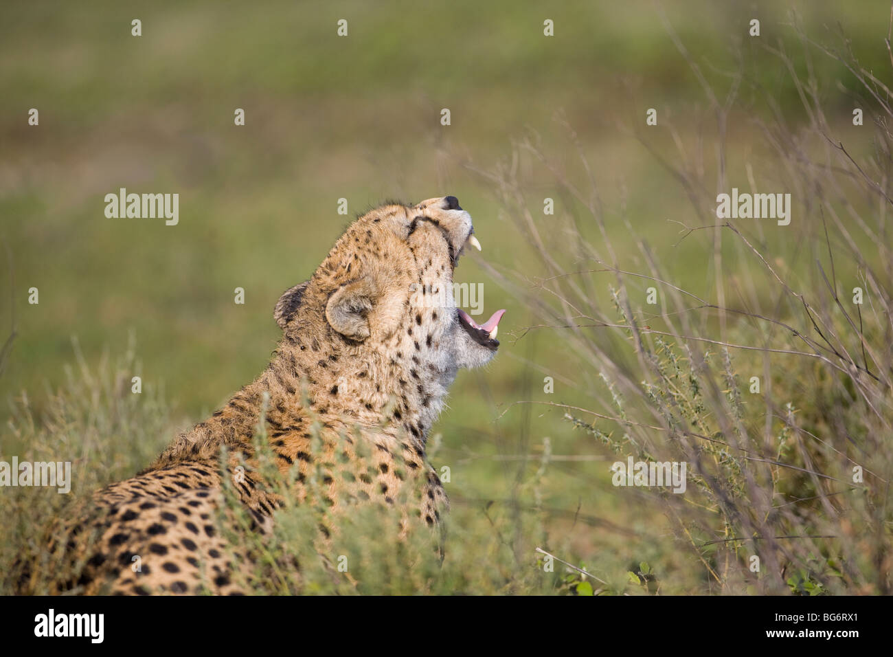 Cheetah Acinonyx  jubatus in profile yawning and showing teeth on the plains of Ndutu Tanzania, Africa - Stock Image
