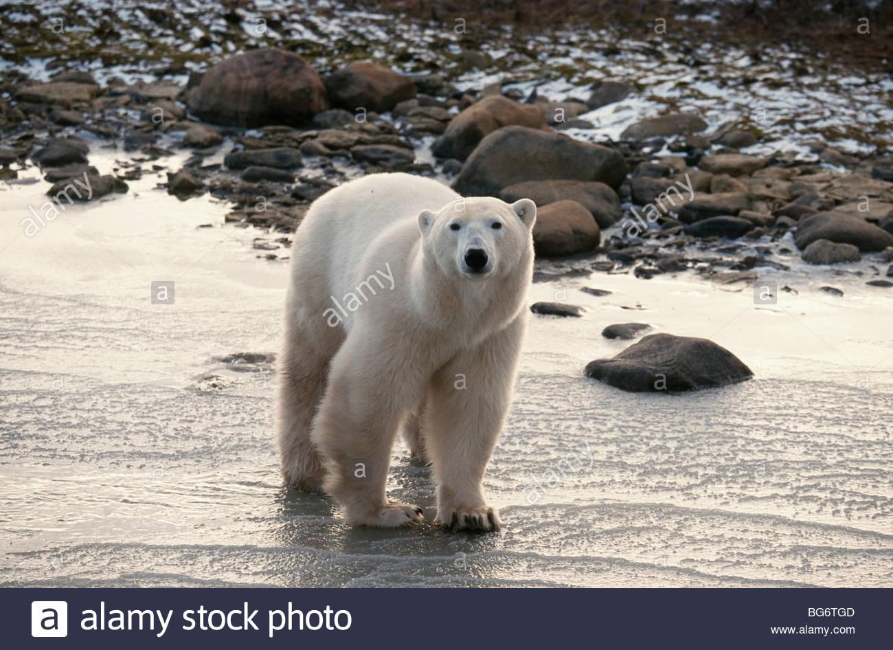 Canada. Churchill. Polar Bear(Thalarctos maritimus), on ice. - Stock Image