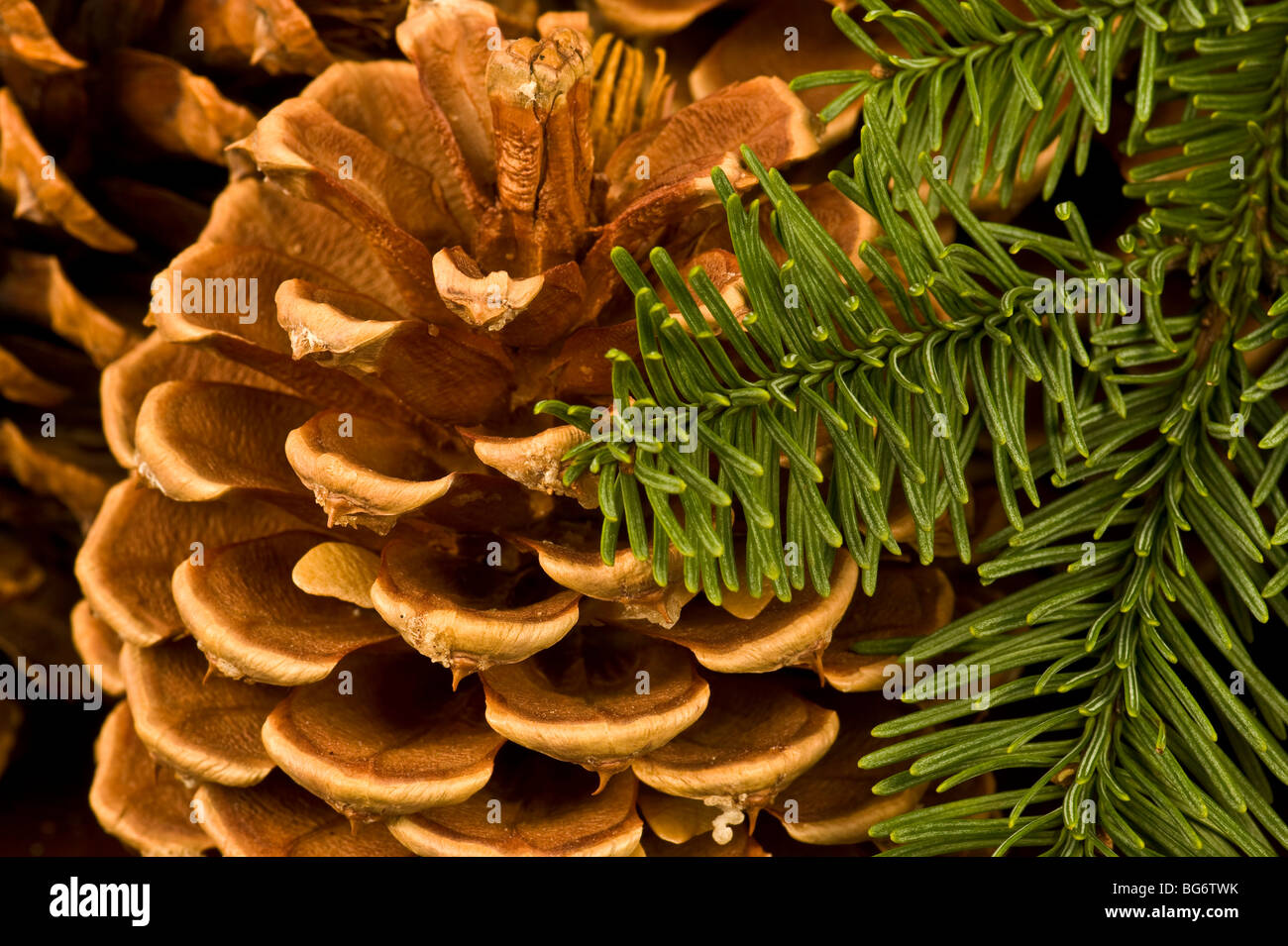 Christmas Pine cones and pine branches - Stock Image