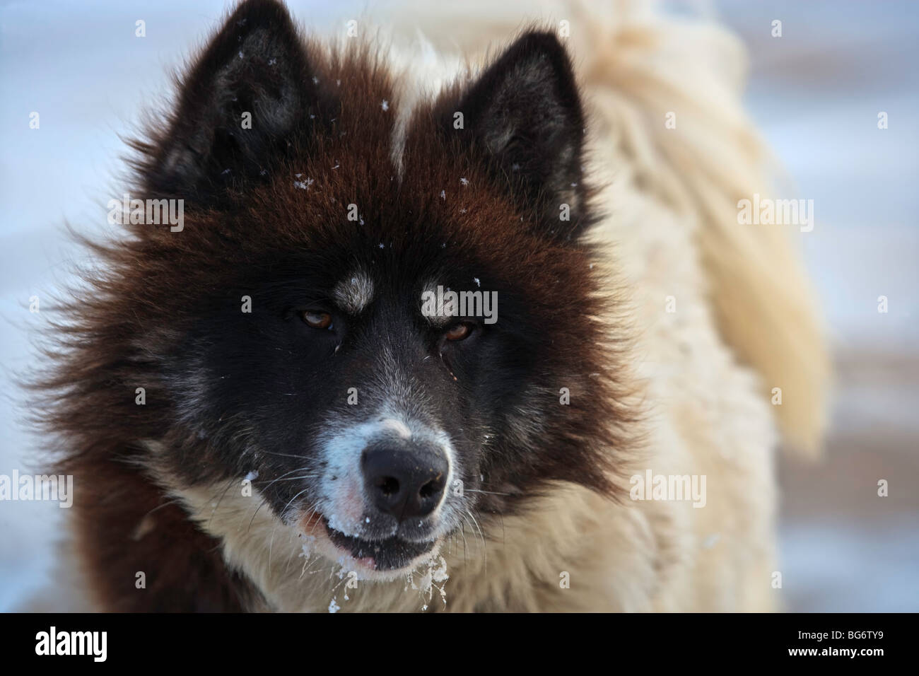 Canadian Eskimo Dog, Canis familiaris, in a yard on the shores of Hudson Bay, Churchill, Manitoba, Canada. - Stock Image