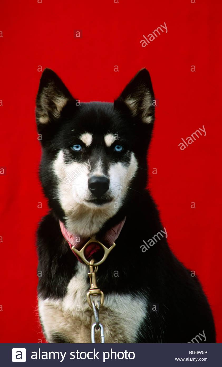 Alaska. Blue eyed female Alaskan Husky dog. - Stock Image