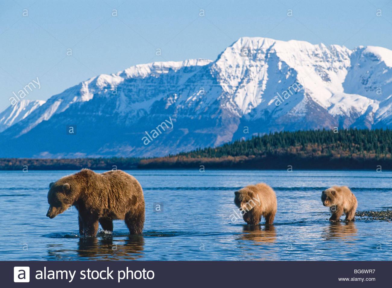 Alaska. Katmai NP. Grizzly Bear (Ursus horribilis) with cubs. - Stock Image