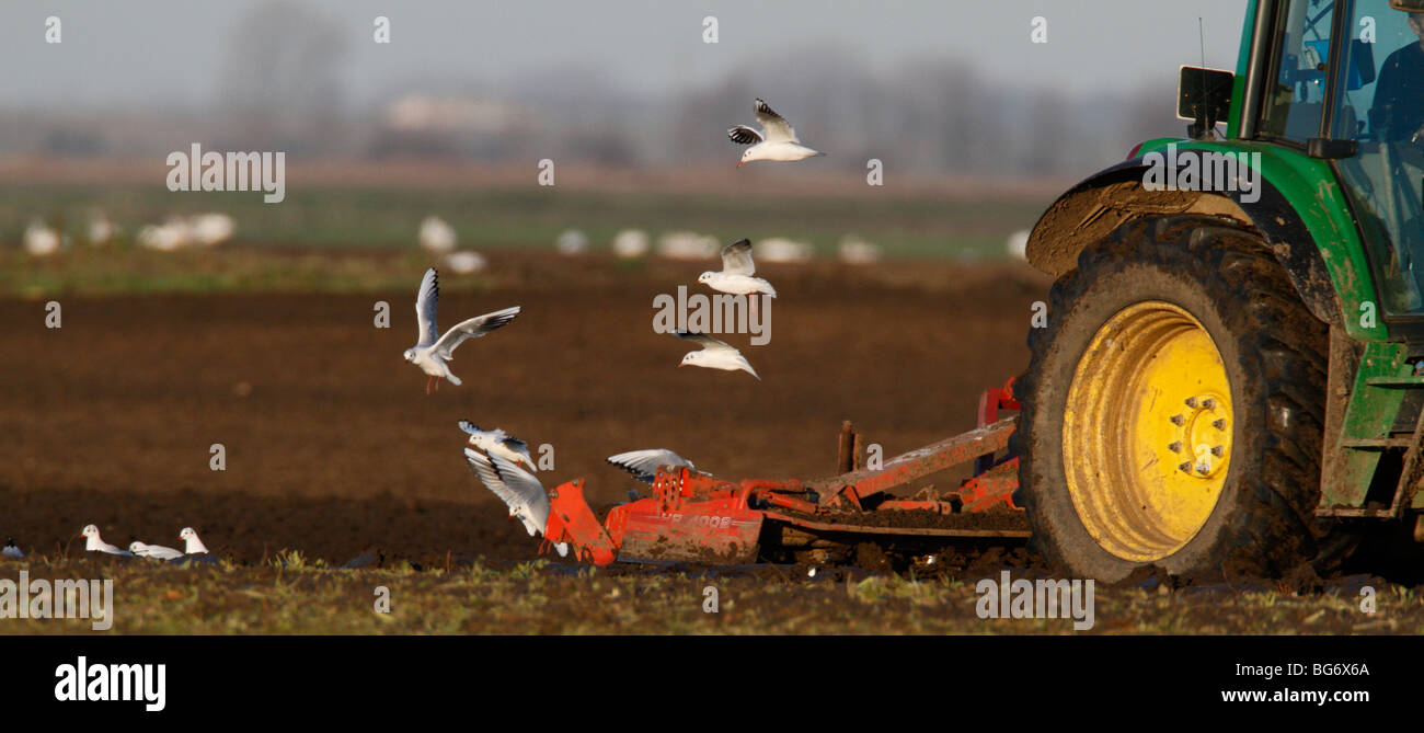 Tractor cultivating field with gulls following - Stock Image