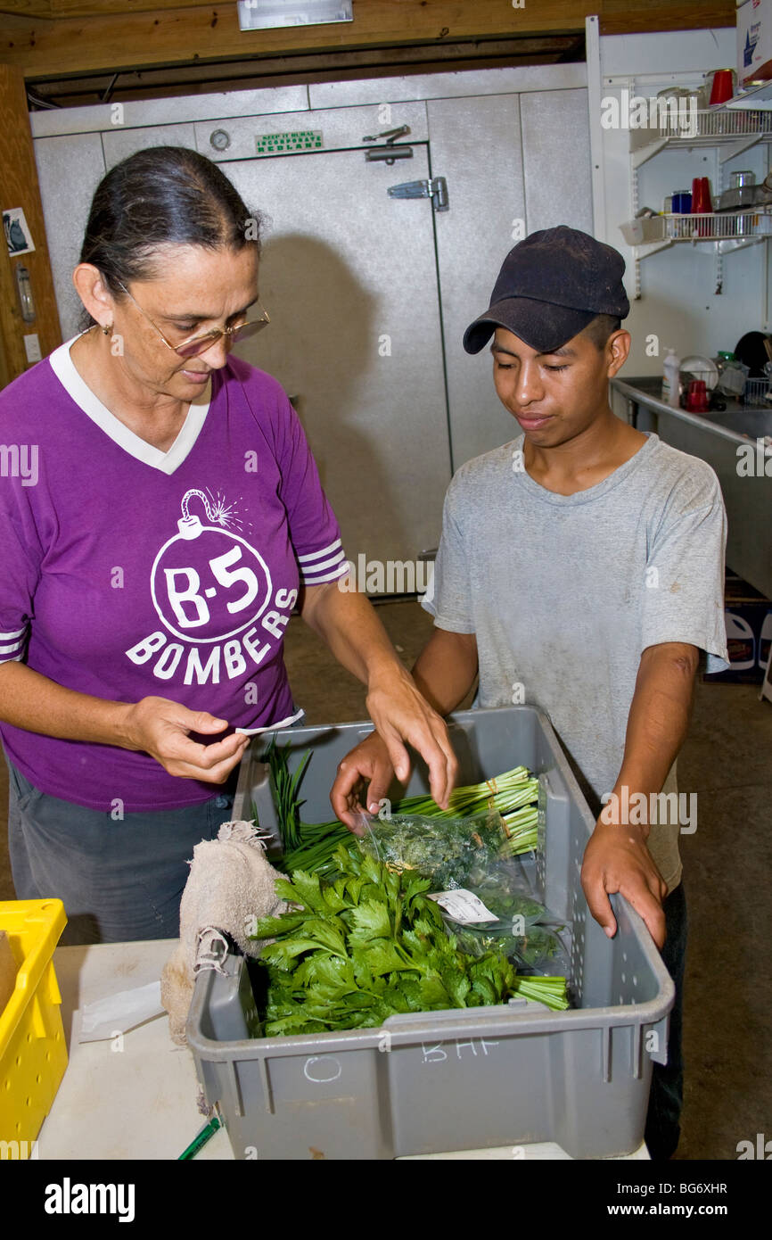 Owner of CSA (community supported agriculture) farm and her worker sort and pack produce for customers - Stock Image