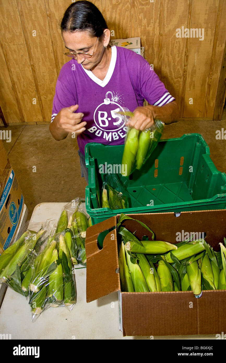 Owner of CSA (community supported agriculture) farm sorts and packs ears of corn for customers. - Stock Image