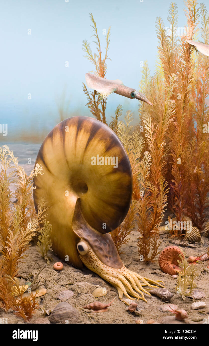 Ammonites are spiral and straight-shelled mollusks that became extinct at the end of the Cretaceous Period, 65 million - Stock Image