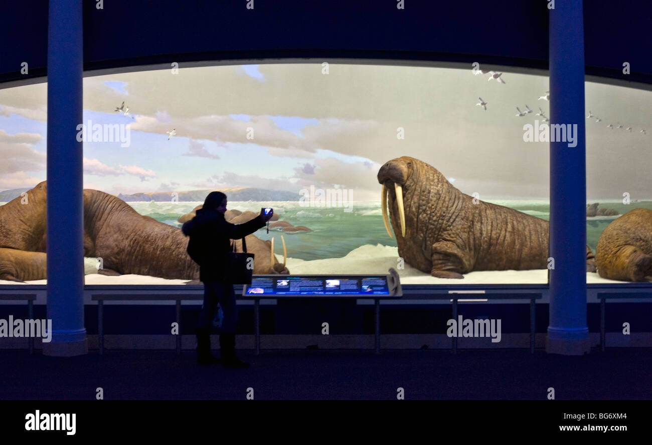 Woman taking a picture of the Walrus diorama at the American Museum of Natural History in New York - Stock Image