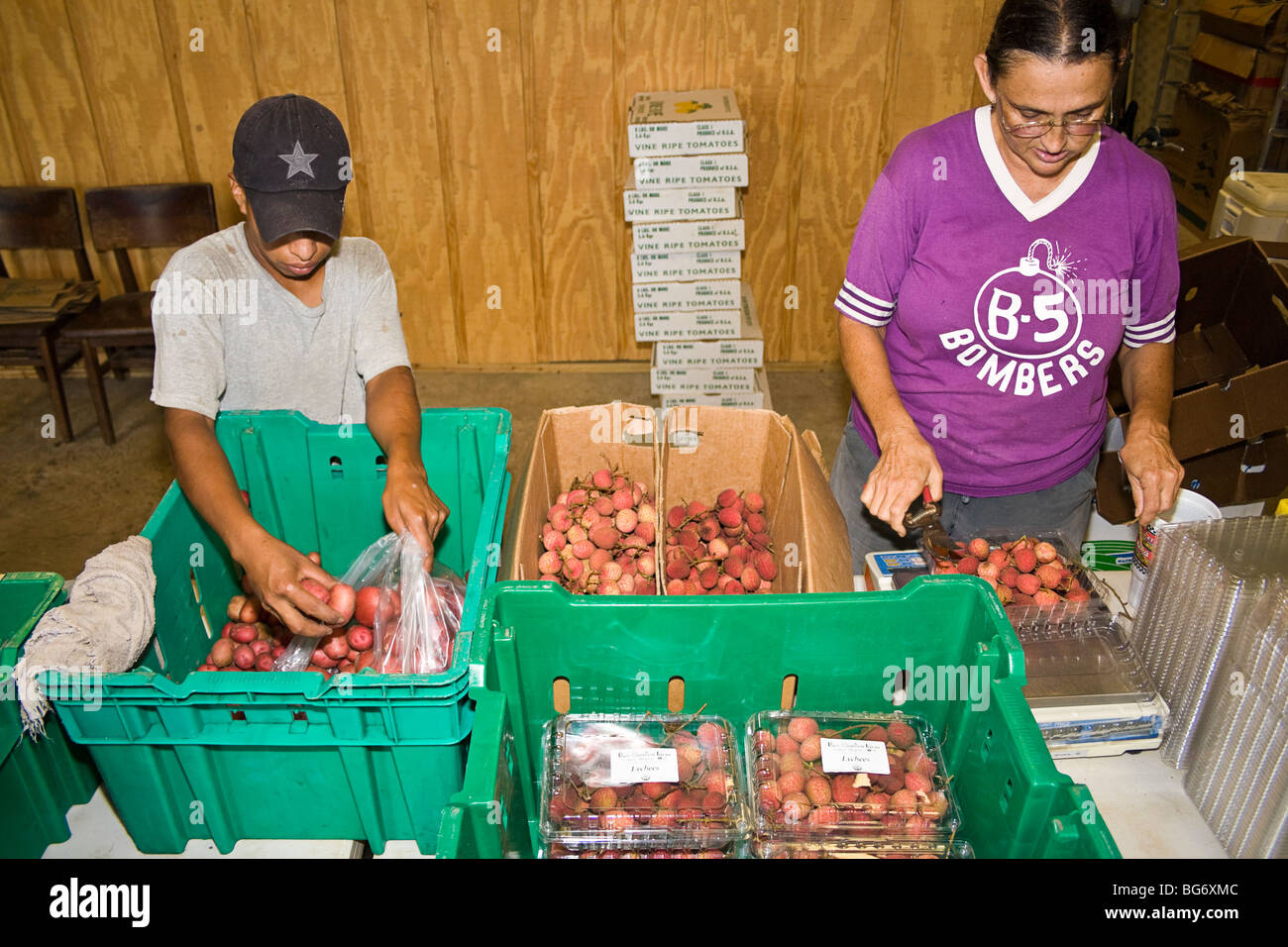 Owner of CSA (community supported agriculture) farm and her worker sort and pack lychees, a tropical fruit, for - Stock Image