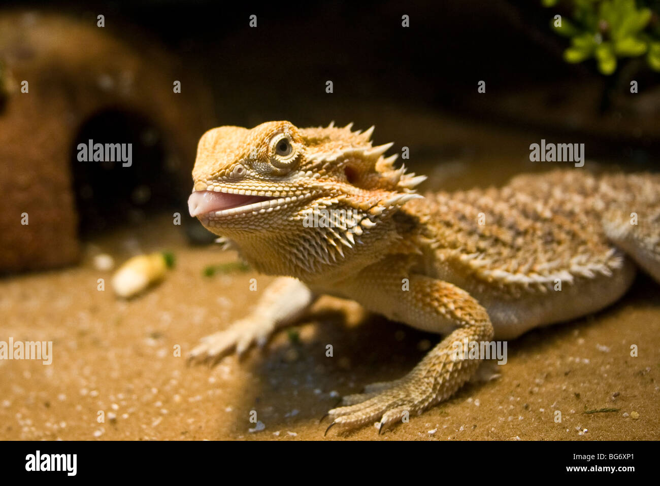 bearded lizard life span - 634×424