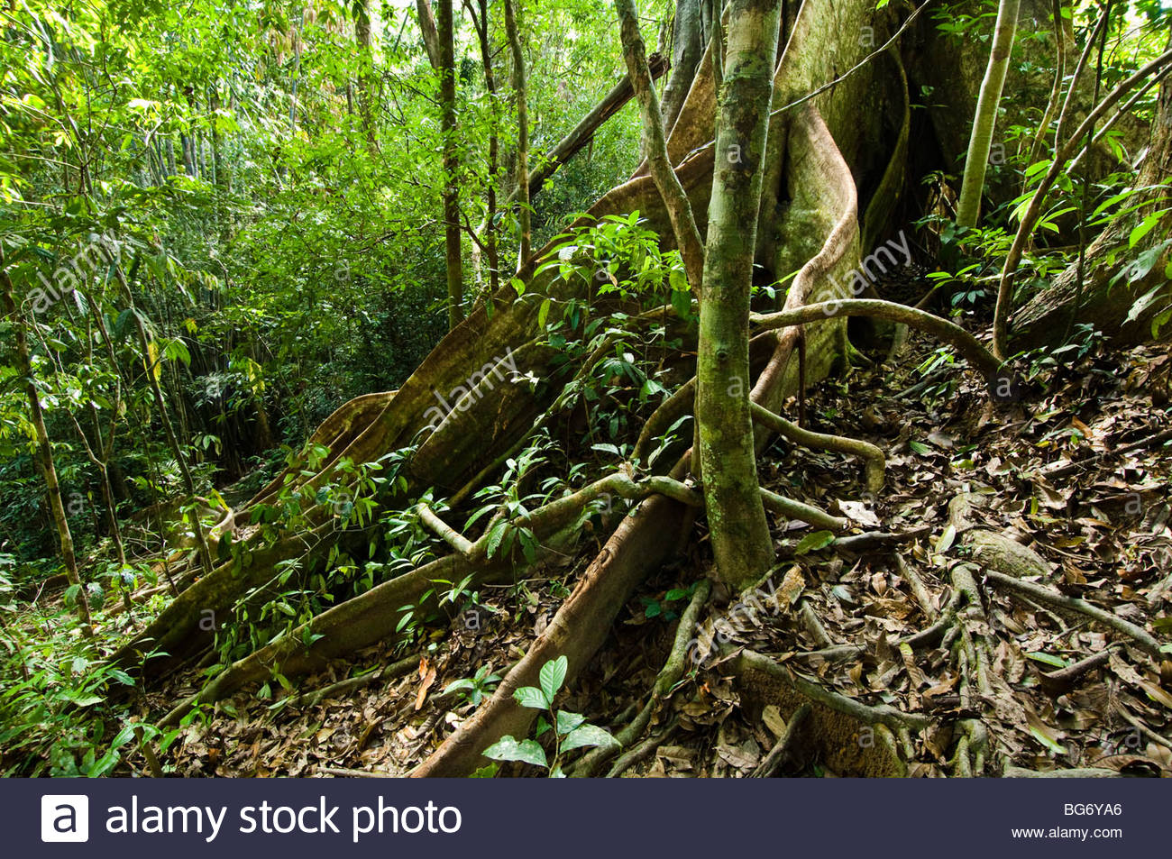 Buttress roots of an ancient banyan tree in the tropical rainforest. - Stock Image