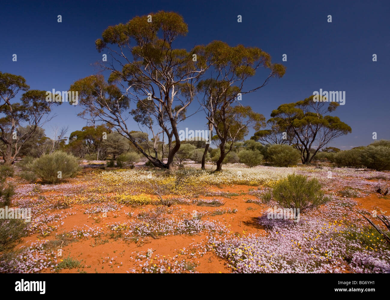 Pink Velleia, Velleia rosea, and other spring everlastings in masses, below Eucalyptus trees; near Paynes Find, - Stock Image