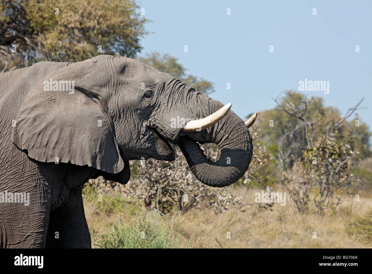 Profile of a male African Elephant, drinking by putting its trunk in its mouth to squirt water. Moremi Game Reserve, - Stock Image