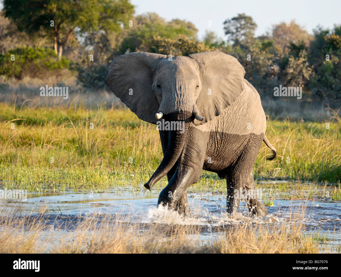 Frisky male African Elephant mock charging as it cools off in a waterhole in Moremi Game Reserve in northern Botswana. - Stock Image
