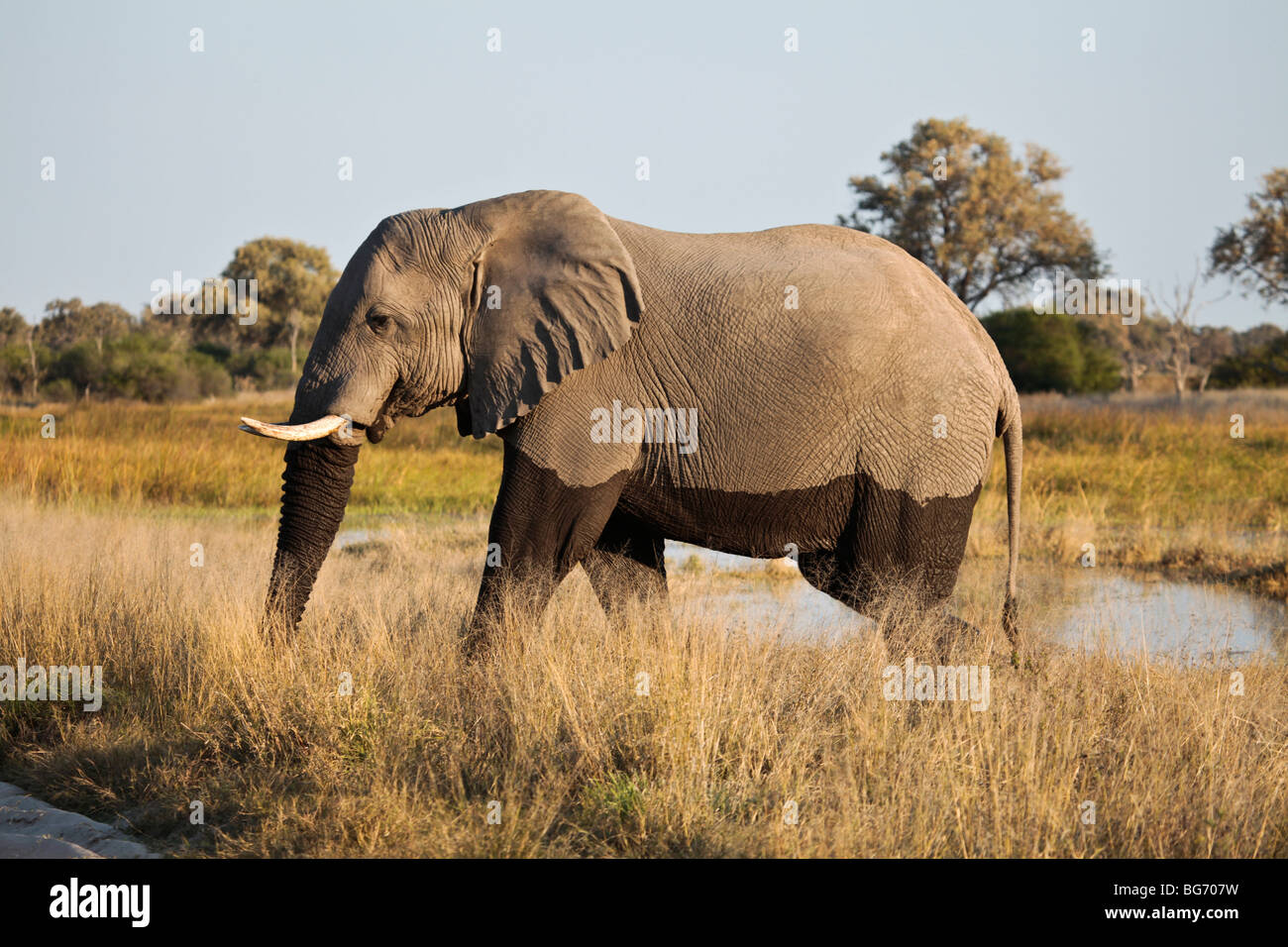 Male African Elephant with 'tidemark', leaving a waterhole in Moremi Game Reserve in northern Botswana. - Stock Image