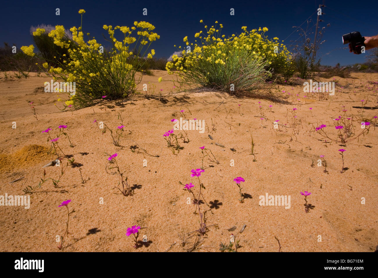 Use of fill-in flash for shadows, on: Yellow-flowered Glischrocaryon flavescens, and Common Parakeelya, flash/strobe - Stock Image