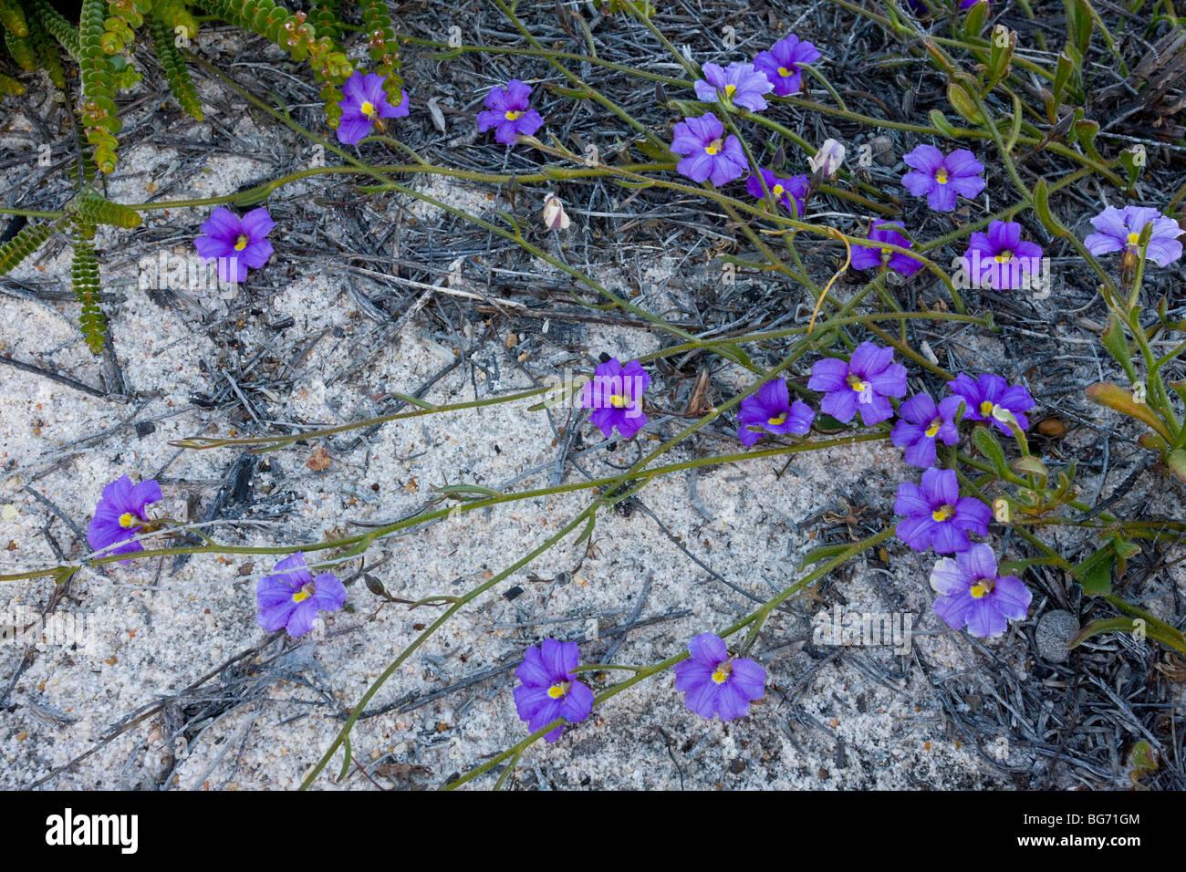 Velvet Fanflower Scaevola phlebopetala on sand; near Kalbarri, Western Australia. Stock Photo