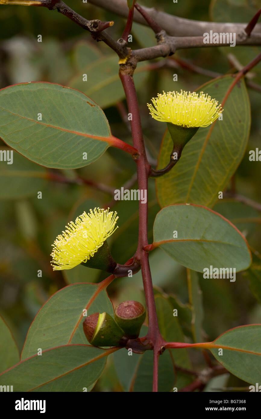 Bell-fruited Mallee Eucalyptus preissiana, in flower, Stirling Ranges, near Mount Barker, south-west Australia - Stock Image