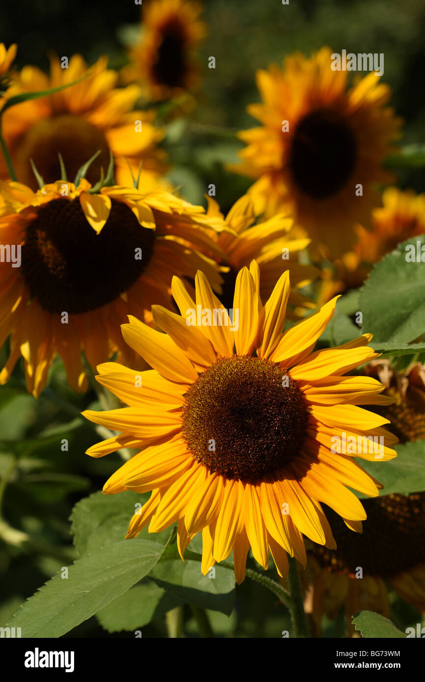 Yellow sunflowers (Helianthus annuus) on sunny day at the National Botanic Garden of Belgium at Meise (near Brussels) - Stock Image
