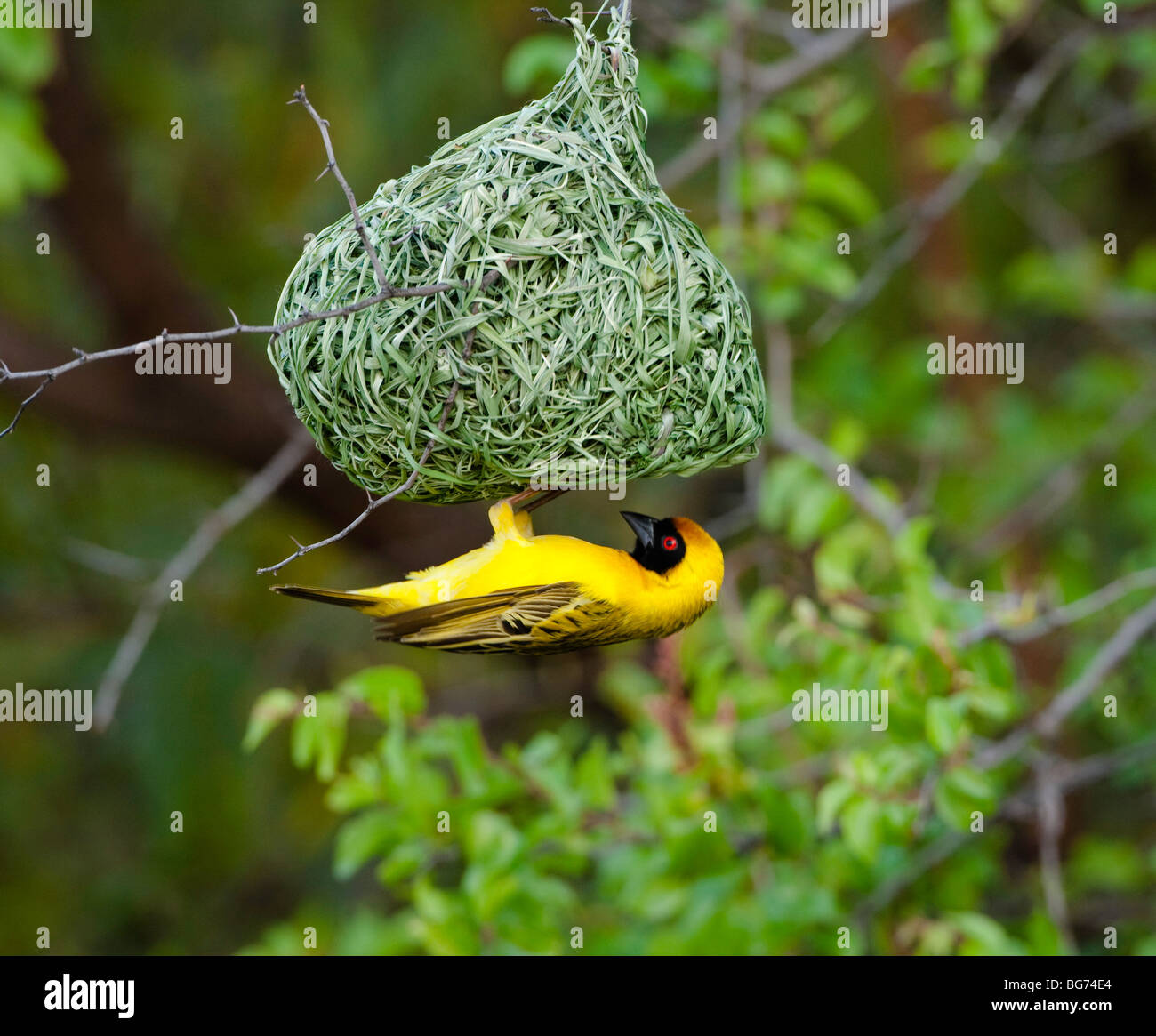 Weaver Bird Building Nest Stock Photos Weaver Bird Building Nest