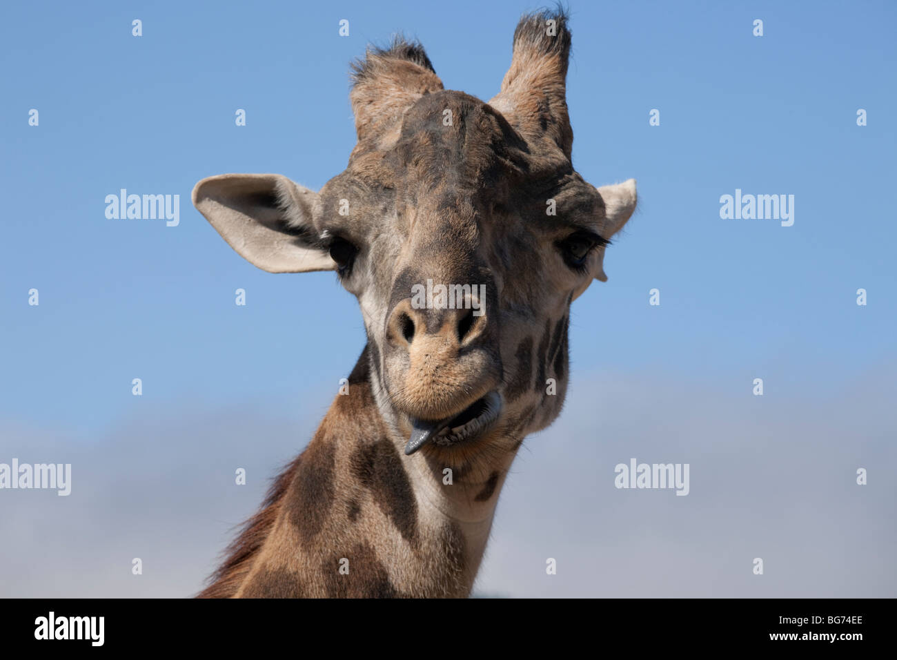 Closeup of giraffe, with its tongue sticking out, at Safari West wildlife preserve in the hills of Santa Rosa, California, - Stock Image