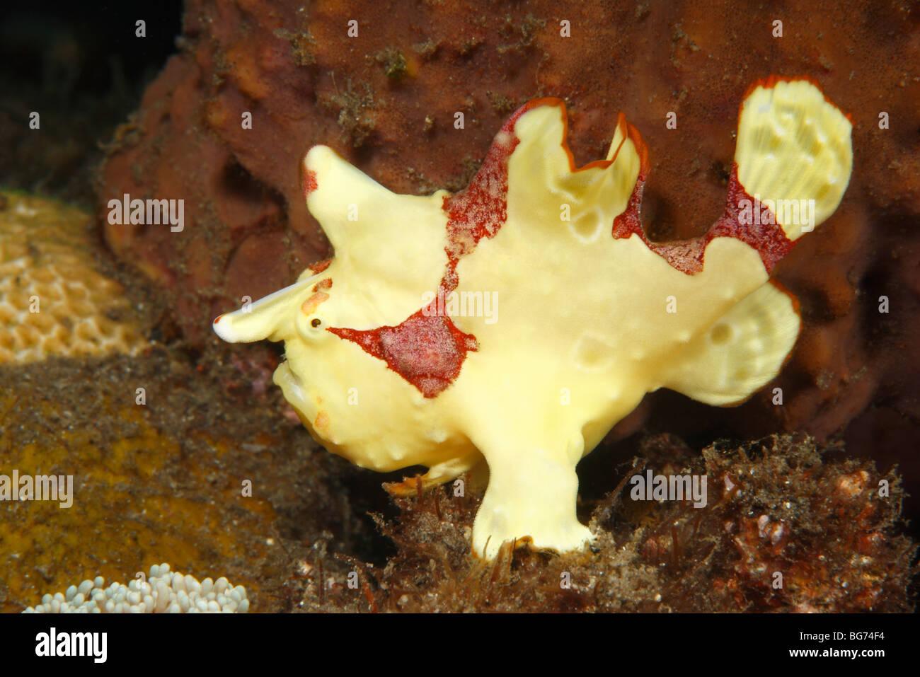 Clown Frogfish, or Anglerfish, Antennarius maculatus,Tulamben; Bali, Indonesia, Bali Sea, Indian Ocean. Also known - Stock Image